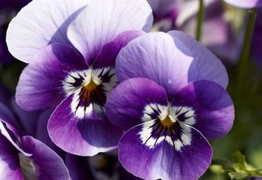 How to Care for Annual Viola Flowers