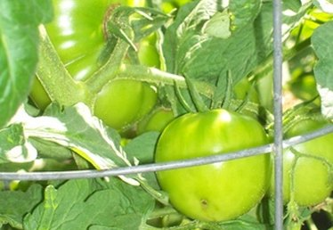 When to Plant Tomatoes in Texas