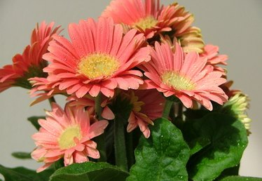 Gerbera Flower Facts