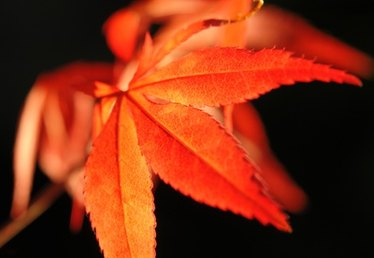 When Do Maple Trees Shed Their Leaves?