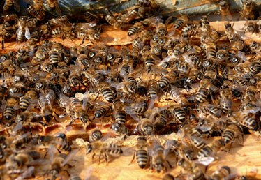 How to Kill Bees with Diatomaceous Earth