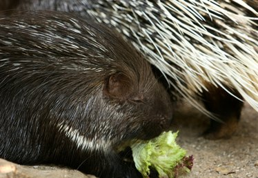 Do Porcupines Shoot Their Quills Out?