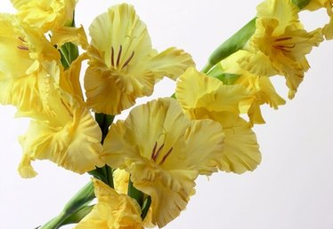 Can I Force Gladiolus Bulbs to Grow?