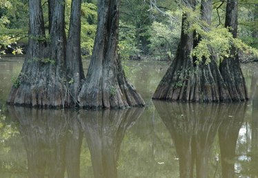 Swamp Cypress Trees