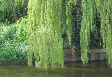 How to Grow a Weeping Willow From a Stem