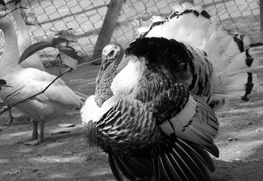 How to Clean Turkey Feathers
