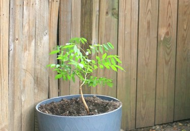 How to Grow Wisteria in a Pot