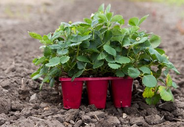 Tips on Growing Strawberry Plants