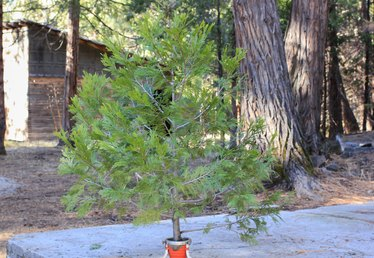 Can You Plant a Cut Christmas Tree?