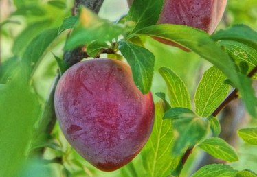 Santa Rosa Plum Tree Care