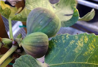 How to Grow a Brown Turkey Fig Tree