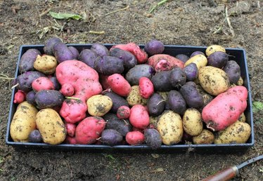 Heirloom and Fingerling Potatoes: Trendy Newcomer to the Garden Patch