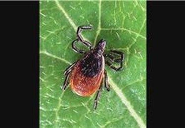 What Do Ticks Look Like?
