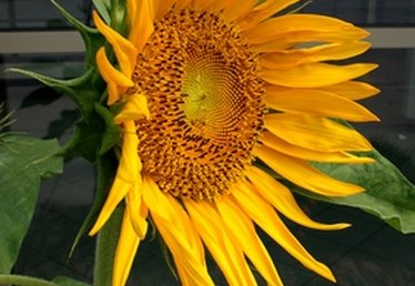 Uses of the Sunflower Plant