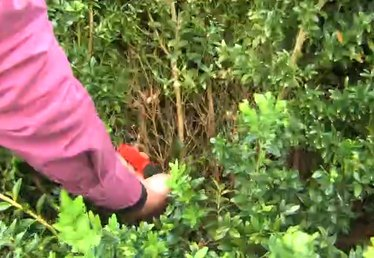 How to Prune Boxwood