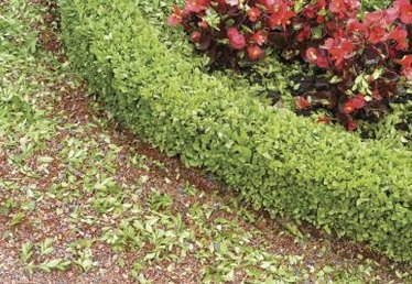 How to Grow Pachysandra