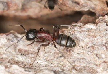 The Best Method to Kill Carpenter Ants
