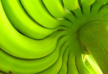 What Is the Scientific Classification for Banana Plants?