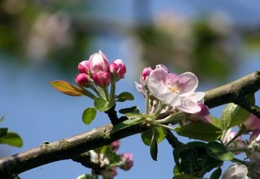 Facts on Apple Blossom Flowers