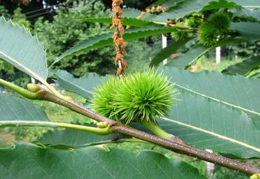 How Long for Chestnut Trees to Produce?