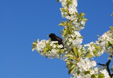 How to Keep Birds Away From Your Cherry Trees