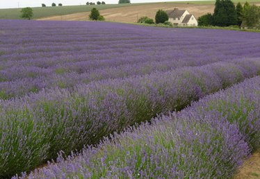 Economics of Growing Lavender