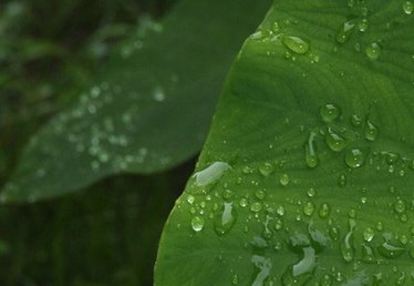 How to Water & Care for Elephant Ears