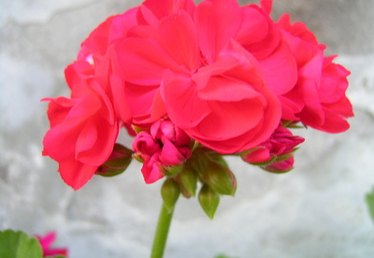 The Meaning of a Red Geranium