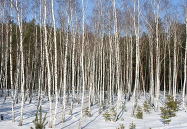 How to Landscape With Birch Trees