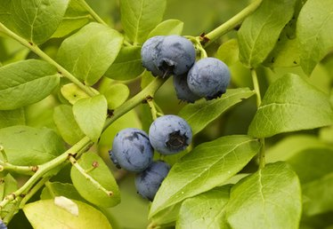 How to Identify Wild Blueberries in Colorado