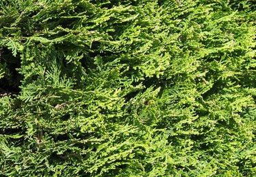 What to Feed Evergreen Trees and Shrubs
