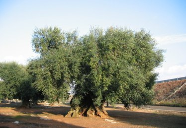 The Signs of a Sick Olive Tree