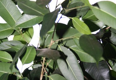 How to Clean Silk Ficus Trees