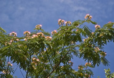 How to Fertilize a Mimosa Tree