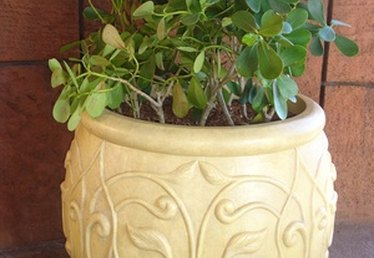 How to Repot a Shamrock Plant