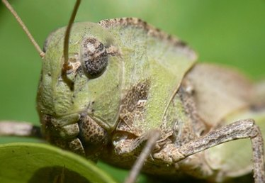 How Do Grasshoppers Communicate?