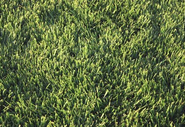 Shade & Drought Tolerant Lawn Grass for Texas