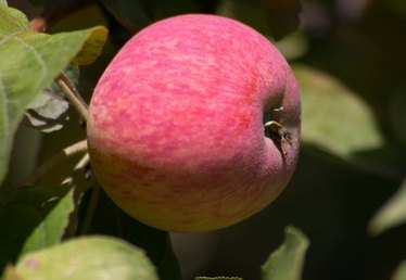 How to Grow Apple Trees in Michigan