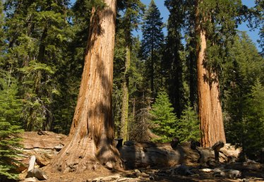 How Do Sequoia Trees Reproduce?