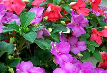 What To Do With Impatiens in the Winter?