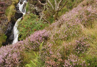 What Do Heather Plants Look Like?
