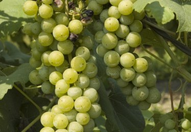 How to Grow Grapevines in Perth Backyards