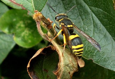 How Do Wasps Communicate?