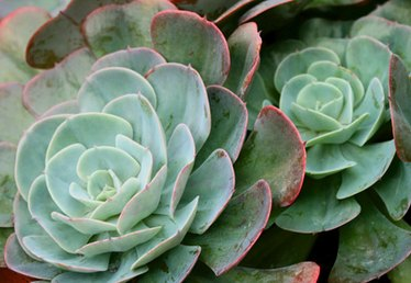 List of Succulent Plants for the Garden