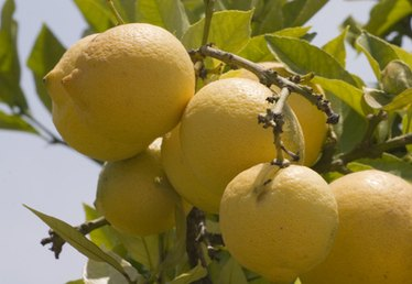 What Are the Treatments for Lemon Tree Fungus?