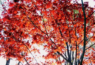 Why Are Maple Leaves Red All Year Round?
