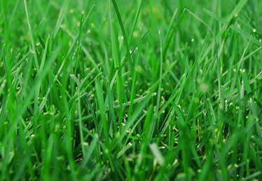 Can You Weed & Feed Zoysia Grass?