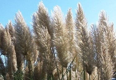 How to Kill Off Pampas Grass