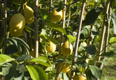Lemon Trees With Yellow Leaves