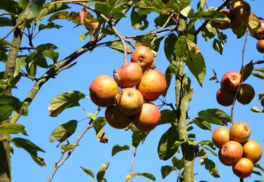 Apple Trees Fungus or Disease Treatment